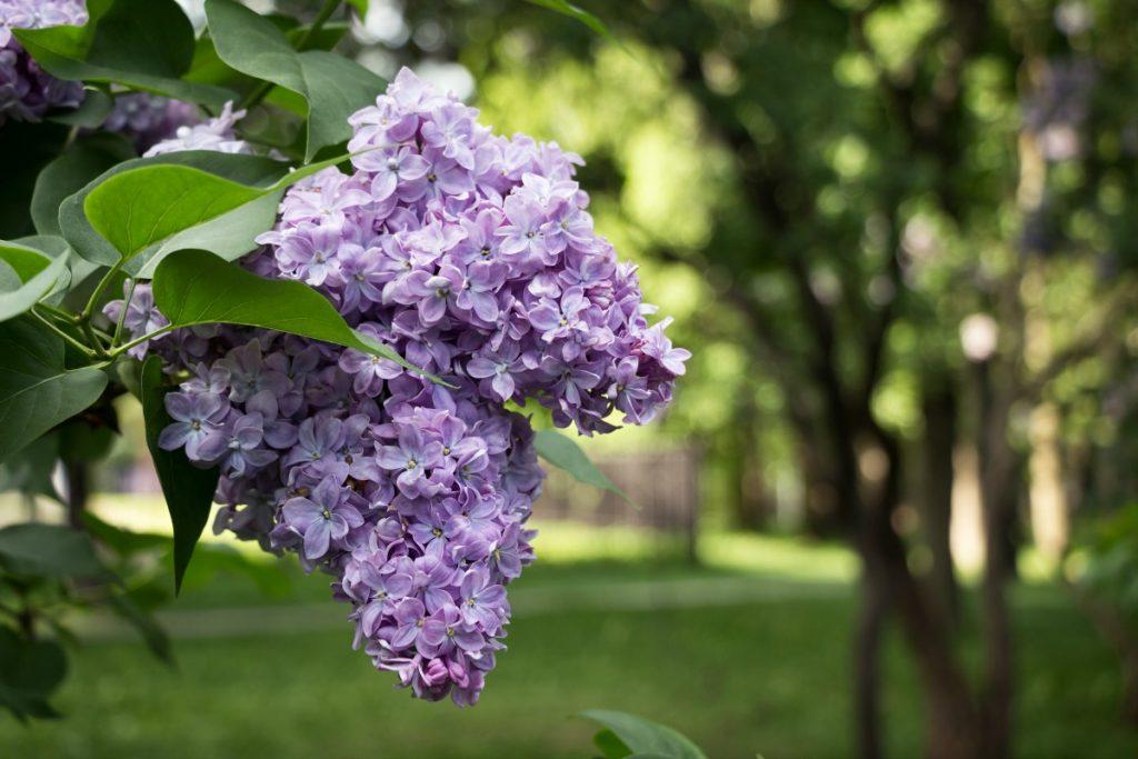 Lilac Festivals Across America